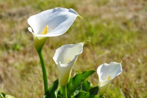 234 - Arum, Fleurs, Flowers, Nature, Blanc, White - DSC_0192R2 BR